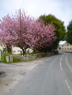 Blossom tree at Yealand